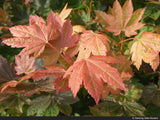 Small Trees - Acer Circinatum 'Del's Dwarf', Dwarf Vine Maple