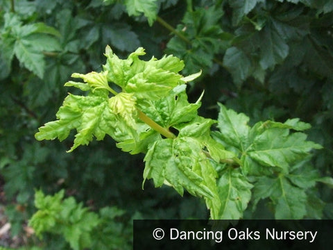Trees ~ Acer circinatum 'Pacific Sprite', Pacific Sprite Vine Maple ~ Dancing Oaks Nursery