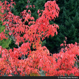 Small Trees - Acer Mandshuricum, Manchurian Maple