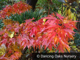 Trees ~ Acer palmatum 'Mikawa Yatsubusa', Japanese Maple ~ Dancing Oaks Nursery and Gardens ~ Retail Nursery ~ Mail Order Nursery