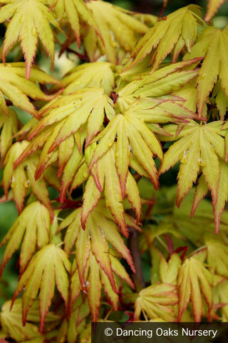 Trees ~ Acer palmatum 'Orange Dream', Japanese Maple ~ Dancing Oaks Nursery and Gardens ~ Retail Nursery ~ Mail Order Nursery