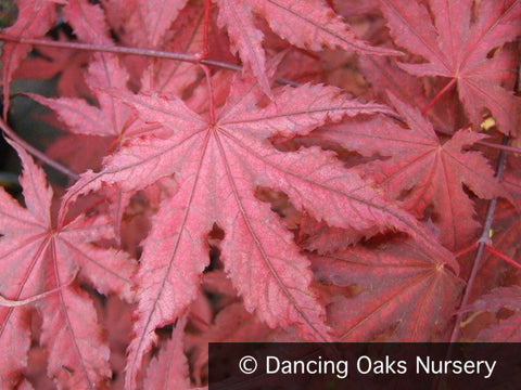 Trees ~ Acer palmatum 'Purple Ghost', Japanese Maple ~ Dancing Oaks Nursery