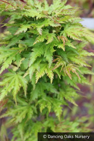 Trees ~ Acer palmatum 'Shishigashira', Lion's Mane Maple ~ Dancing Oaks Nursery and Gardens ~ Retail Nursery ~ Mail Order Nursery