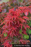 Trees ~ Acer palmatum 'Shishigashira', Lion's Mane Maple ~ Dancing Oaks Nursery