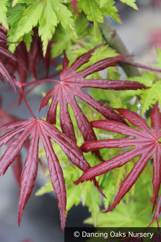 Trees ~ Acer palmatum 'Trompenburg', Japanese Maple ~ Dancing Oaks Nursery and Gardens ~ Retail Nursery ~ Mail Order Nursery