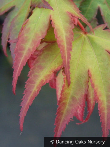 Trees ~ Acer palmatum 'Tsuma gaki', Japanese Maple ~ Dancing Oaks Nursery and Gardens ~ Retail Nursery ~ Mail Order Nursery