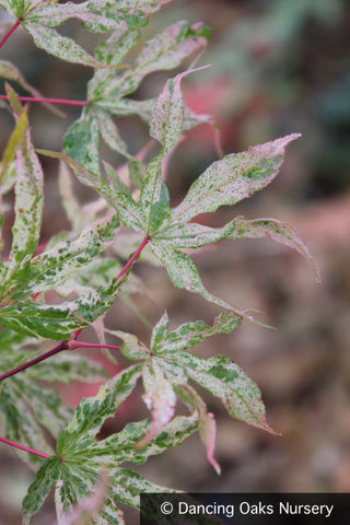 Trees ~ Acer palmatum 'Ukigumo', Floating Cloud Maple ~ Dancing Oaks Nursery and Gardens ~ Retail Nursery ~ Mail Order Nursery