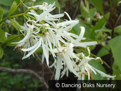Trees ~ Chionanthus virginicus, Fringe Tree ~ Dancing Oaks Nursery and Gardens ~ Retail Nursery ~ Mail Order Nursery