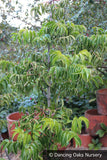 Trees ~ Euscaphis japonica, Sweetheart Tree ~ Dancing Oaks Nursery