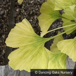 Trees ~ Ginkgo biloba 'Snowcloud', Dwarf Maidenhair Tree ~ Dancing Oaks Nursery