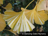 Trees ~ Ginkgo biloba 'White Lightning', Variegated Ginkgo ~ Dancing Oaks Nursery