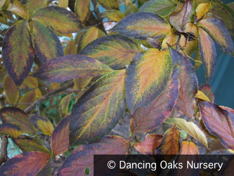 Trees ~ Stewartia sinensis, Chinese Stewartia ~ Dancing Oaks Nursery and Gardens ~ Retail Nursery ~ Mail Order Nursery