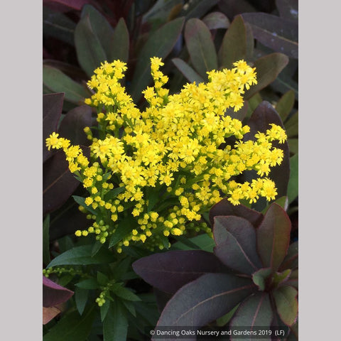Perennials ~ Solidago 'Little Lemon' PP17297, Goldenrod ~ Dancing Oaks Nursery and Gardens ~ Retail Nursery ~ Mail Order Nursery