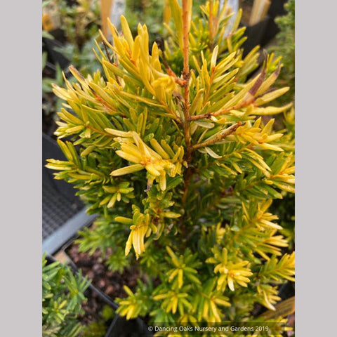 Trees ~ Taxus cuspidata 'Rezek's Gold', Japanese Yew ~ Dancing Oaks Nursery and Gardens ~ Retail Nursery ~ Mail Order Nursery