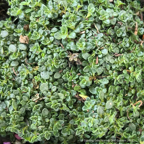 Perennials ~ Thymus serpyllum 'Elfin', Creeping Thyme ~ Dancing Oaks Nursery and Gardens ~ Retail Nursery ~ Mail Order Nursery