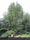 Trees ~ Toona sinensis 'Flamingo', Chinese Mahogany ~ Dancing Oaks Nursery