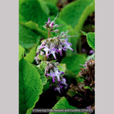 Perennials ~ Trachystemon orientalis, Oriental Borage ~ Dancing Oaks Nursery and Gardens ~ Retail Nursery ~ Mail Order Nursery