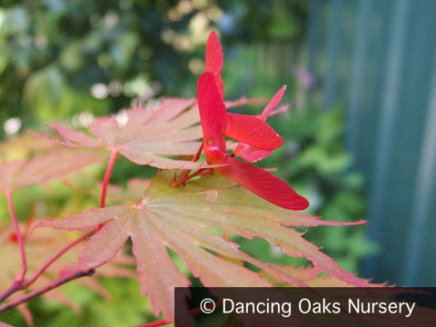 Trees ~ Acer shirasawanum 'Sensu', Japanese Maple ~ Dancing Oaks Nursery and Gardens ~ Retail Nursery ~ Mail Order Nursery