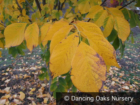 Trees ~ Cladrastis kentukea (syn. lutea) , Yellowwood ~ Dancing Oaks Nursery and Gardens ~ Retail Nursery ~ Mail Order Nursery