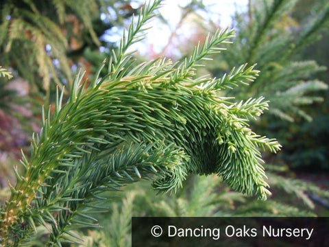 Trees ~ Cryptomeria japonica 'Cristata', Crested Japanese Cedar ~ Dancing Oaks Nursery and Gardens ~ Retail Nursery ~ Mail Order Nursery