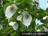 Trees ~ Davidia involucrata seedling, Dove Tree ~ Dancing Oaks Nursery and Gardens ~ Retail Nursery ~ Mail Order Nursery