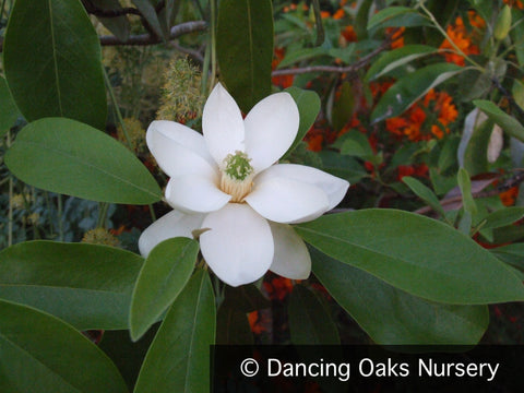 Trees ~ Magnolia virginiana Moonglow® 'Wilson', Sweetbay Magnolia ~ Dancing Oaks Nursery