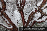 Trees ~ Prunus serrula, Birch Bark Cherry ~ Dancing Oaks Nursery and Gardens ~ Retail Nursery ~ Mail Order Nursery