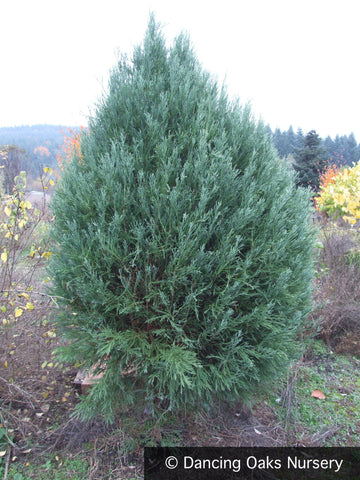 Trees ~ Sequoiadendron gigantea 'Moonie's Mini', Dwarf Giant Sequoia ~ Dancing Oaks Nursery and Gardens ~ Retail Nursery ~ Mail Order Nursery