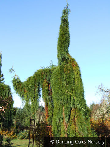 Trees ~ Sequoiadendron giganteum 'Pendulum', Weeping Giant Sequoia ~ Dancing Oaks Nursery and Gardens ~ Retail Nursery ~ Mail Order Nursery