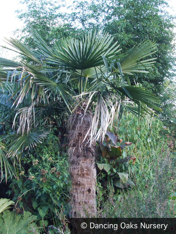 Trees ~ Trachycarpus fortunei, Windmill Palm ~ Dancing Oaks Nursery