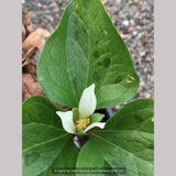 Perennials ~ Trillium albidum, Giant White Wakerobin ~ Dancing Oaks Nursery and Gardens