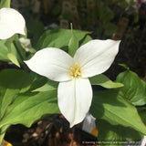 Perennials ~ Trillium grandiflorum, Snow Trillium ~ Dancing Oaks Nursery and Gardens ~ Retail Nursery ~ Mail Order Nursery