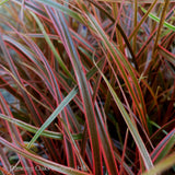 Grasses ~ Uncinia rubra 'Belinda's Find', New Zealand Red Hook Sedge ~ Dancing Oaks Nursery and Gardens ~ Retail Nursery ~ Mail Order Nursery