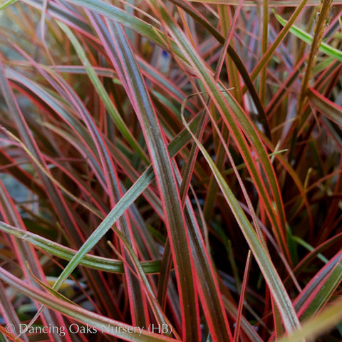Grasses ~ Uncinia rubra 'Belinda's Find', New Zealand Red Hook Sedge ~ Dancing Oaks Nursery
