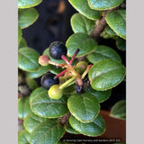 Shrubs ~ Vaccinium nummularia, Coin Whortleberry ~ Dancing Oaks Nursery and Gardens ~ Retail Nursery ~ Mail Order Nursery