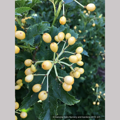 Shrubs ~ Viburnum opulus 'Xanthocarpum', Yellow-fruited Cranberry Bush ~ Dancing Oaks Nursery and Gardens