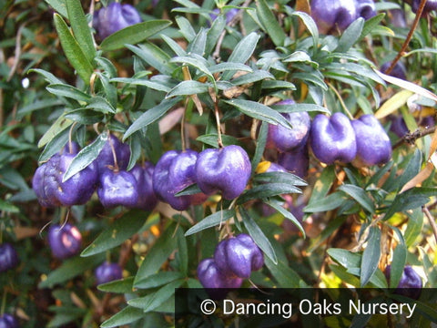 Vines ~ Billardiera longiflora Purple Form , Purple Apple Berry ~ Dancing Oaks Nursery and Gardens ~ Retail Nursery ~ Mail Order Nursery