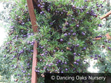 Vines ~ Billardiera longiflora Purple Form , Purple Apple Berry ~ Dancing Oaks Nursery