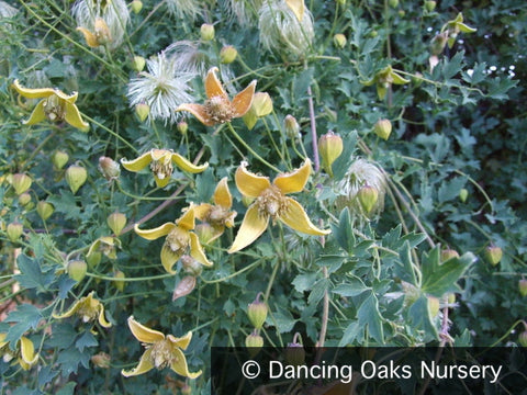 Vines - Clematis tangutica, Old Man's Beard - Dancing Oaks Nursery
