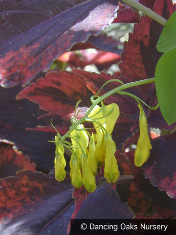 Vines ~ Dactylicapnos (syn. Dicentra) scandens, Climbing Bleeding Heart ~ Dancing Oaks Nursery