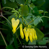 Vines ~ Dactylicapnos (syn. Dicentra) scandens, Climbing Bleeding Heart ~ Dancing Oaks Nursery and Gardens ~ Retail Nursery ~ Mail Order Nursery