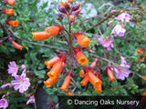 Vines ~ Eccremocarpus scaber, Chilean Glory Vine ~ Dancing Oaks Nursery and Gardens ~ Retail Nursery ~ Mail Order Nursery