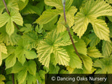 Vines ~ Humulus lupulus 'Aureus', Golden Hop ~ Dancing Oaks Nursery