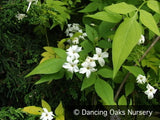 Vines ~ Jasminum officinale 'Fiona Sunrise', Hardy Golden Jasmine ~ Dancing Oaks Nursery and Gardens ~ Retail Nursery ~ Mail Order Nursery