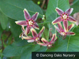 Vines ~ Periploca graeca, Milkweed Vine or Silk Vine ~ Dancing Oaks Nursery and Gardens ~ Retail Nursery ~ Mail Order Nursery