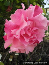 Vines ~ Rosa 'Madame Gregoire Staechelin', Climbing Rose ~ Dancing Oaks Nursery and Gardens ~ Retail Nursery ~ Mail Order Nursery