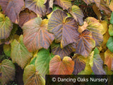Vines ~ Vitis coignetiae, Crimson Glory Vine ~ Dancing Oaks Nursery and Gardens ~ Retail Nursery ~ Mail Order Nursery