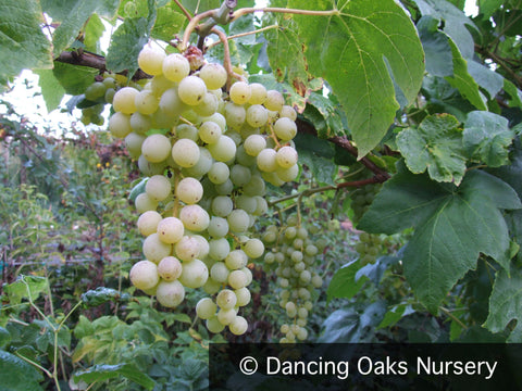 Vines ~ Vitis 'Himrod', Seedless Green Grape ~ Dancing Oaks Nursery and Gardens ~ Retail Nursery ~ Mail Order Nursery