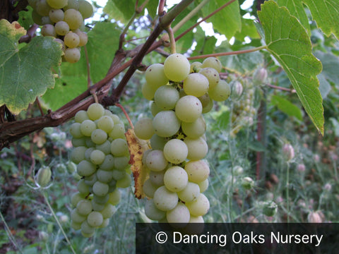Vines ~ Vitis 'Interlaken', Seedless Green Grape ~ Dancing Oaks Nursery