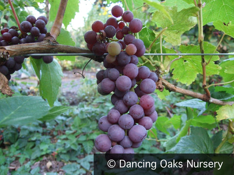 Vines ~ Vitis 'Red Flame', Seedless Red Grape ~ Dancing Oaks Nursery